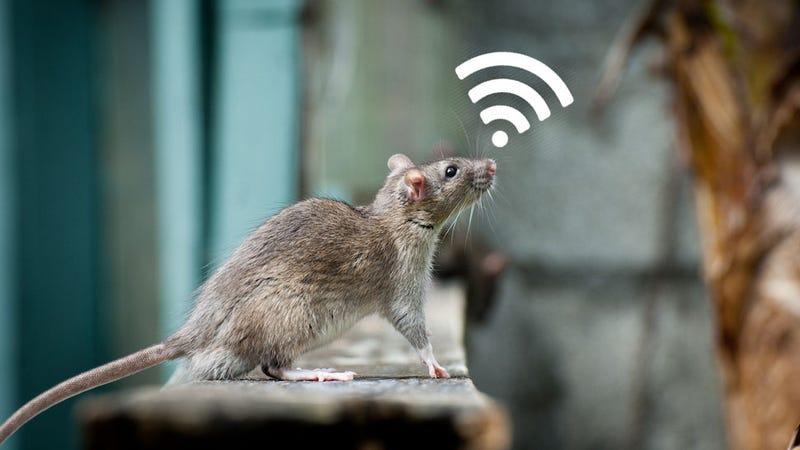 Illustration for article titled Logran que ratas cyborg con implantes cerebrales resuelvan problemas más rápido