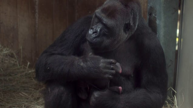 Oh My God, Check Out This Amazing Baby Gorilla