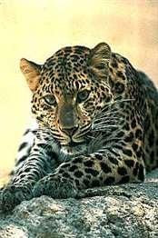 Illustration for article titled More Leopard Delay Rumors? Vista to Blame?
