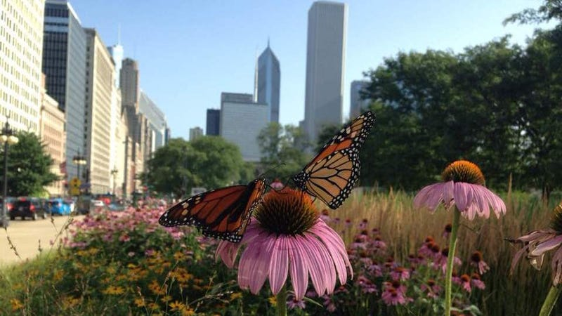 Monarchs in Chicago!