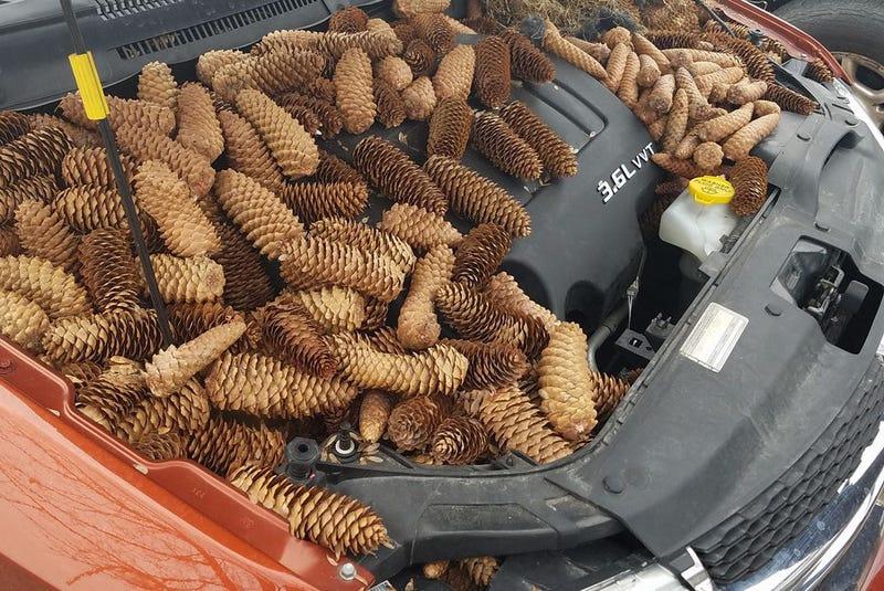 Illustration for article titled Revisa el motor de su coche tras el invierno y encuentra 23 kilos de piñas almacenados por una ardilla