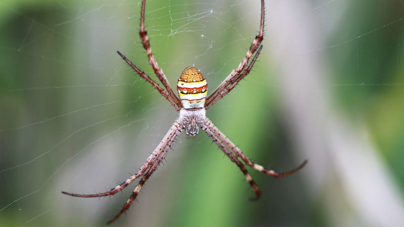 male spiders shudder calm their cannibalistic brid