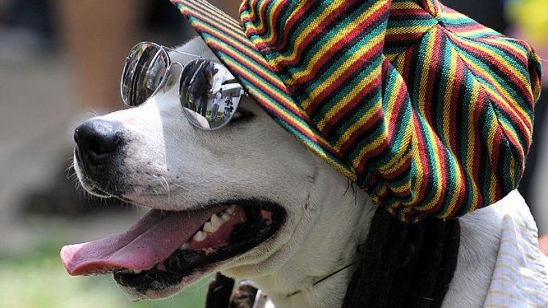We checked, and this is one of two images of Rasta dogs available on Getty (Photo: AFP/Getty Images)