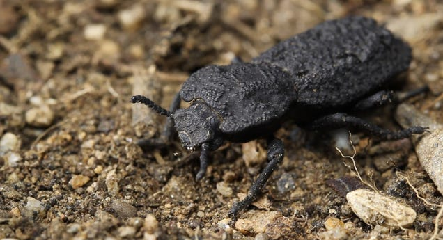 How This Uncrushable Beetle Can Survive Being Run Over by a Car