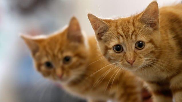 More Evidence Links  Cat Scratch  Bacteria and Schizophrenia