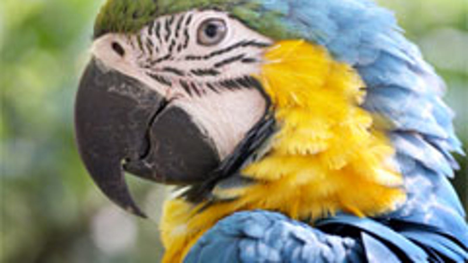 Feathered Friends Jolly Foods Celebrations: Runaway Parrot Lured Home With Red Wine And Pringles