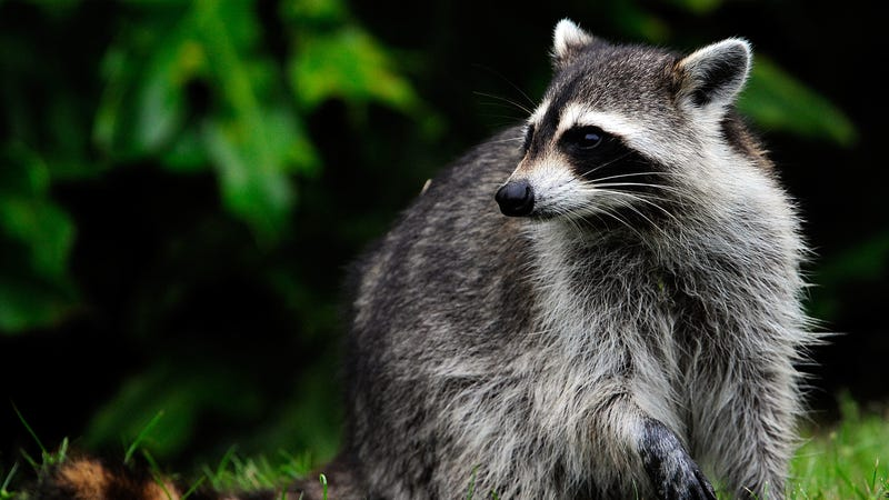 THIS IS NOT THE RACOON PLEASE READ THE BLOG / Image via Getty