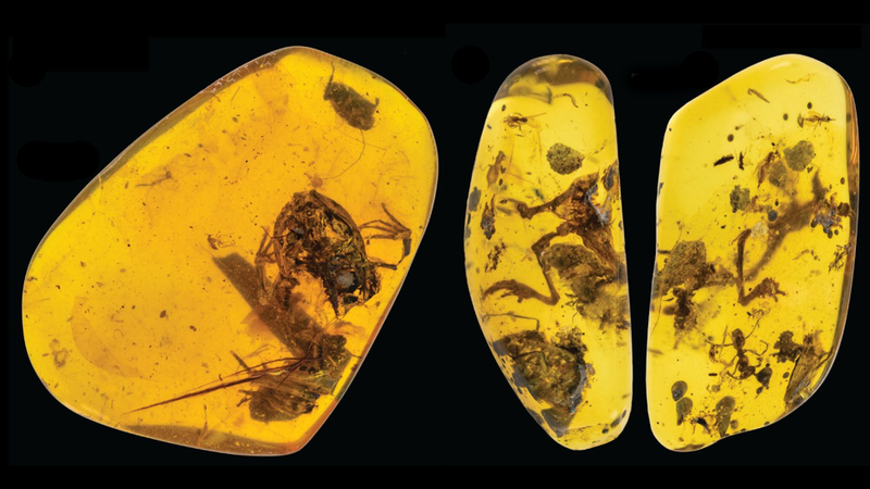 Two of the four frogs found in amber (the specimen on the right shows two views).