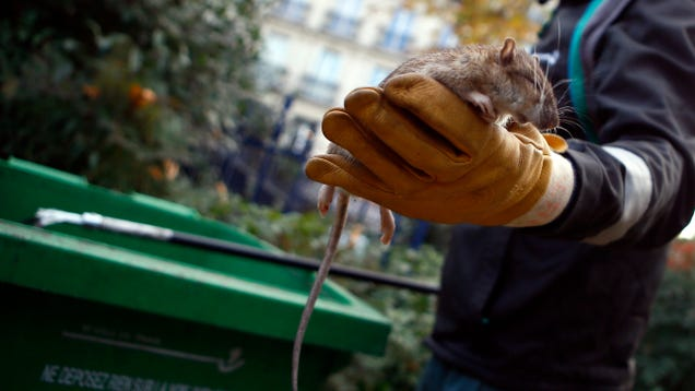Rat Version of Hepatitis E Detected in a Human for the First Time