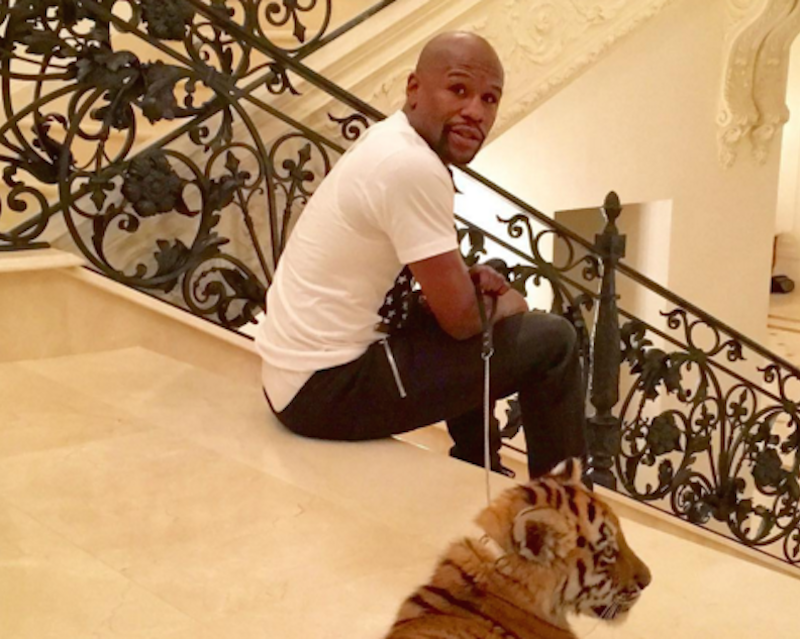Illustration for article titled Floyd Mayweather Says He Has A New Pet Tiger