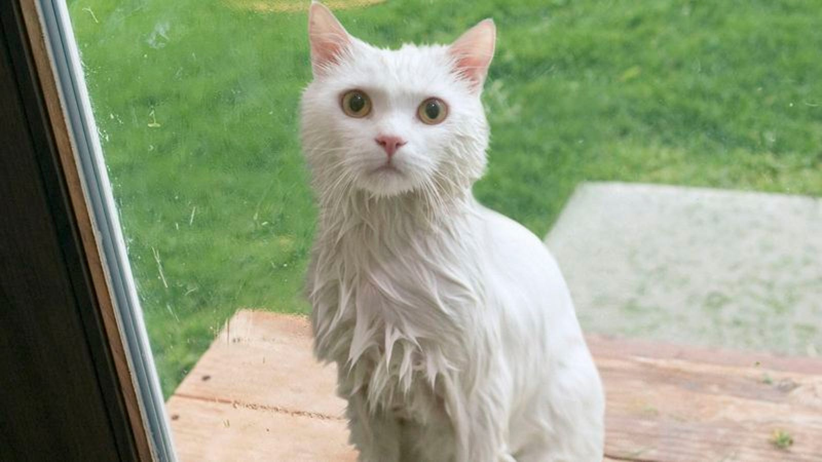Rain-Drenched Cat Announces It Ready To Stay Inside And Be Part Of Family