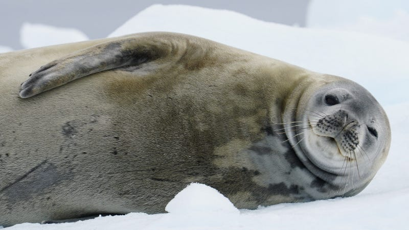 A Weddell seal doing its thing