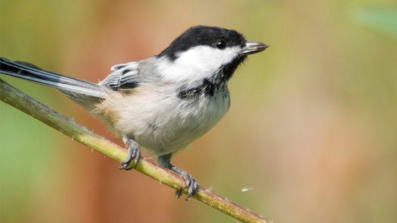 Illustration for article titled Audubon Society Revokes Black-Capped Chickadee's Membership After Species Fails To Pay Dues