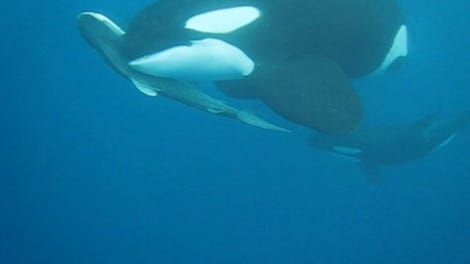 This Story About Killer Whales Eating Great White Sharks Is