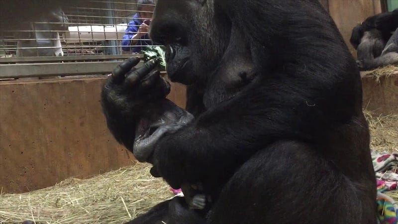 photo image Oh My God, Check Out This Amazing Baby Gorilla