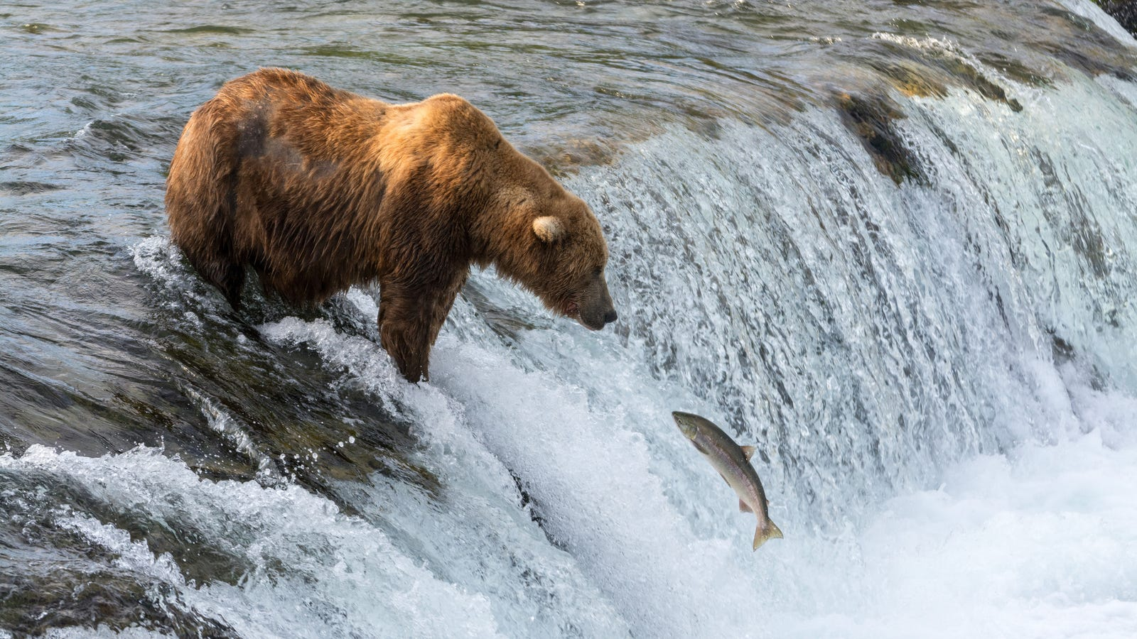 These bears decided to stop eating salmon thanks to for Do fish make noise
