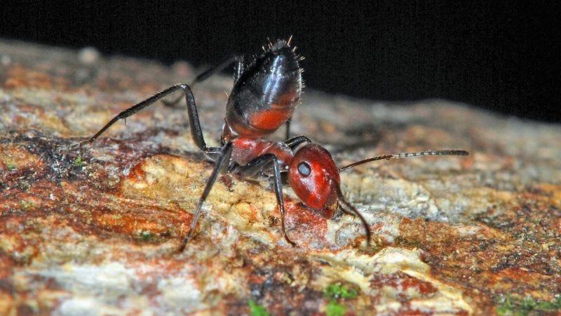Esta nueva especie de hormiga explota para liberar un líquido tóxico ...
