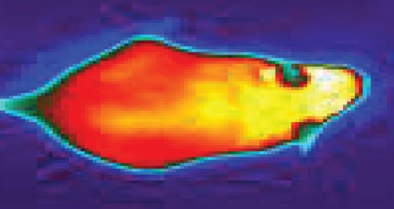 Un ratón, visto bajo un escáner de infrarrojos. Foto: Salk Institute