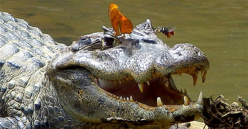 Illustration for article titled Extremely rare image shows bee and butterfly drinking crocodile tears