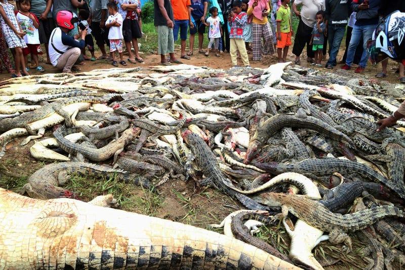 Illustration for article titled Matan y queman a 300 cocodrilos en peligro de extinción como venganza por la muerte de un hombre