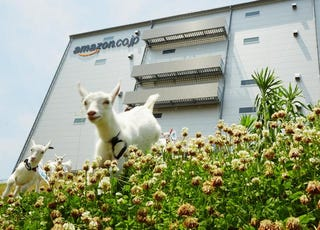 Illustration for article titled ​Amazon Japan Has Doubled Its Goats