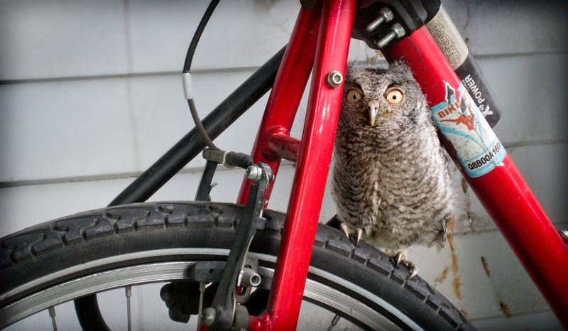 Illustration for article titled Owl on bike gallery