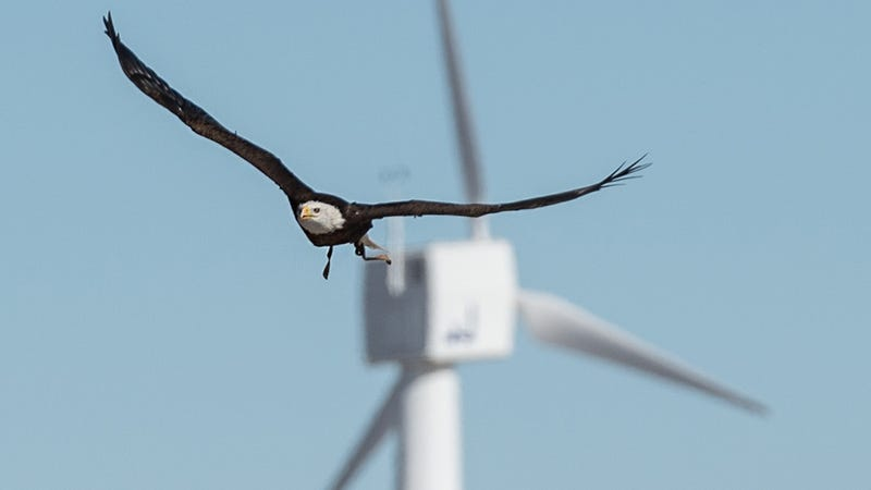 Illustration for article titled Spirit the Eagle Helps to Stop Birds Getting Chopped by Wind Turbines