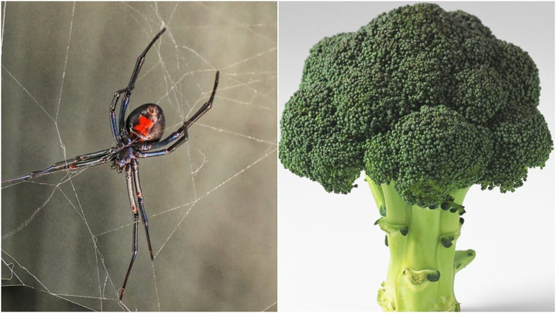 Illustration for article titled Black widow spider adopted after being found in broccoli