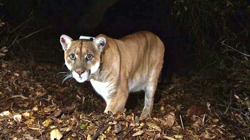 A November 2014 file photo of P-22, a wild mountain lion that lived alongside millions of people in Griffith Park in Los Angeles, and was considered a suspect in the death of a koala at the LA Zoo that year.