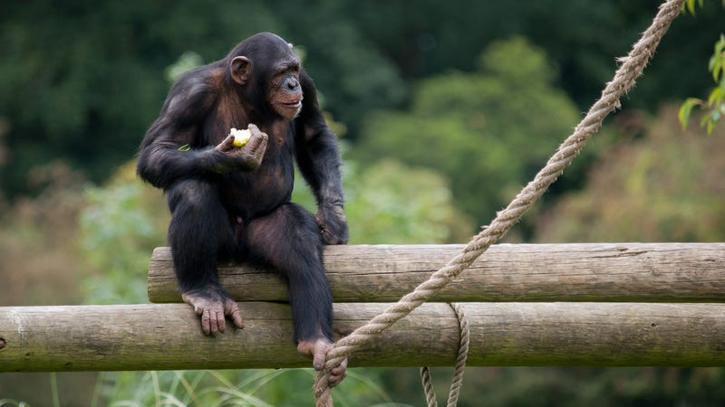 Illustration for article titled New York Court Says Chimps Aren't People—But a Judge Is Not Happy About It