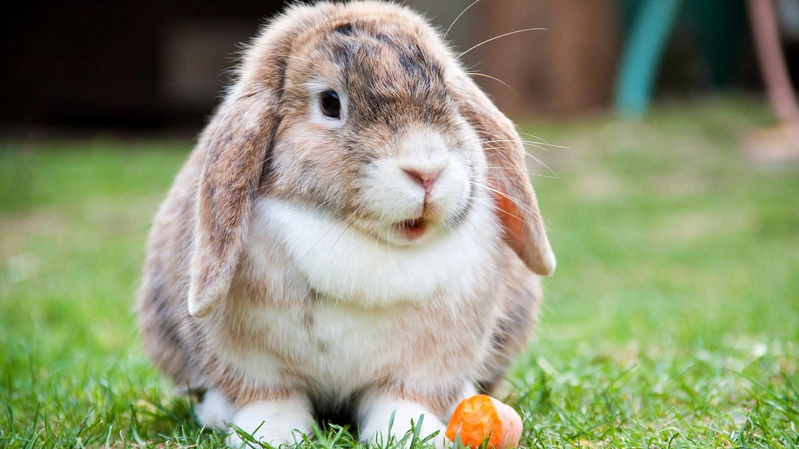 The Sad Truth About Floppy-Eared Bunnies