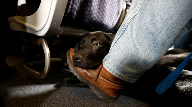 Alaska Airlines to Ban  Emotional Support  Animals Starting January 11