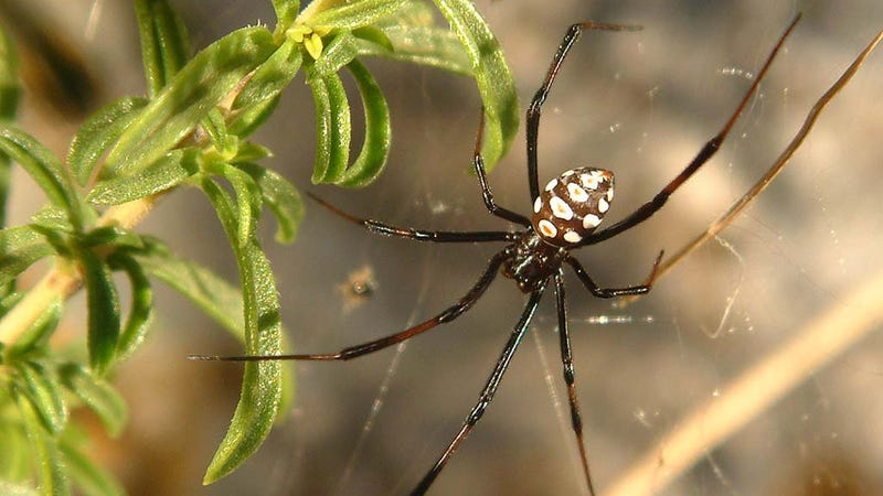 A male black widow spider. (Image: K. Korlevic)