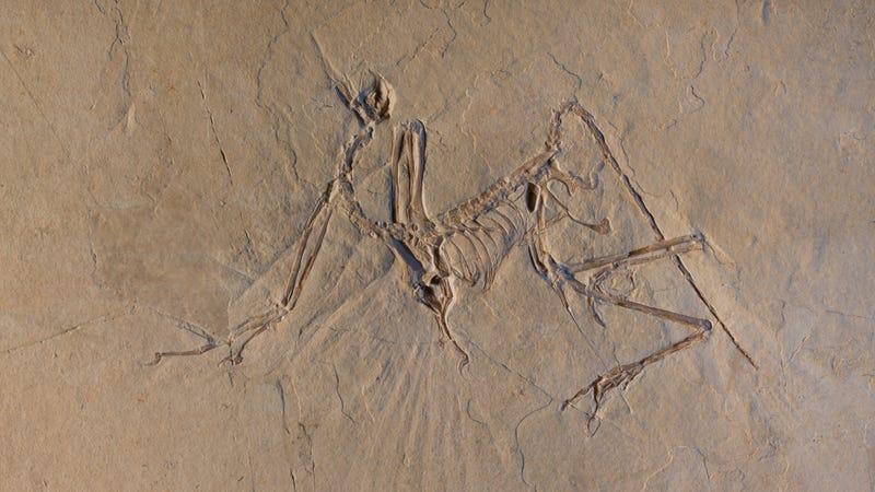 Un fósil de Archaeopteryx utilizado en el estudio