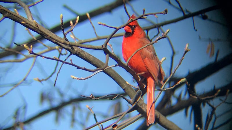 A picture of a cardinal I took by putting my iPhone up to my binoculars