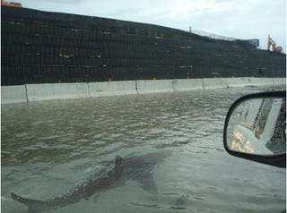 Illustration for article titled Unfortunately, Photo Of Giant Shark Swimming Through Flooded Puerto Rico Street Is Fake