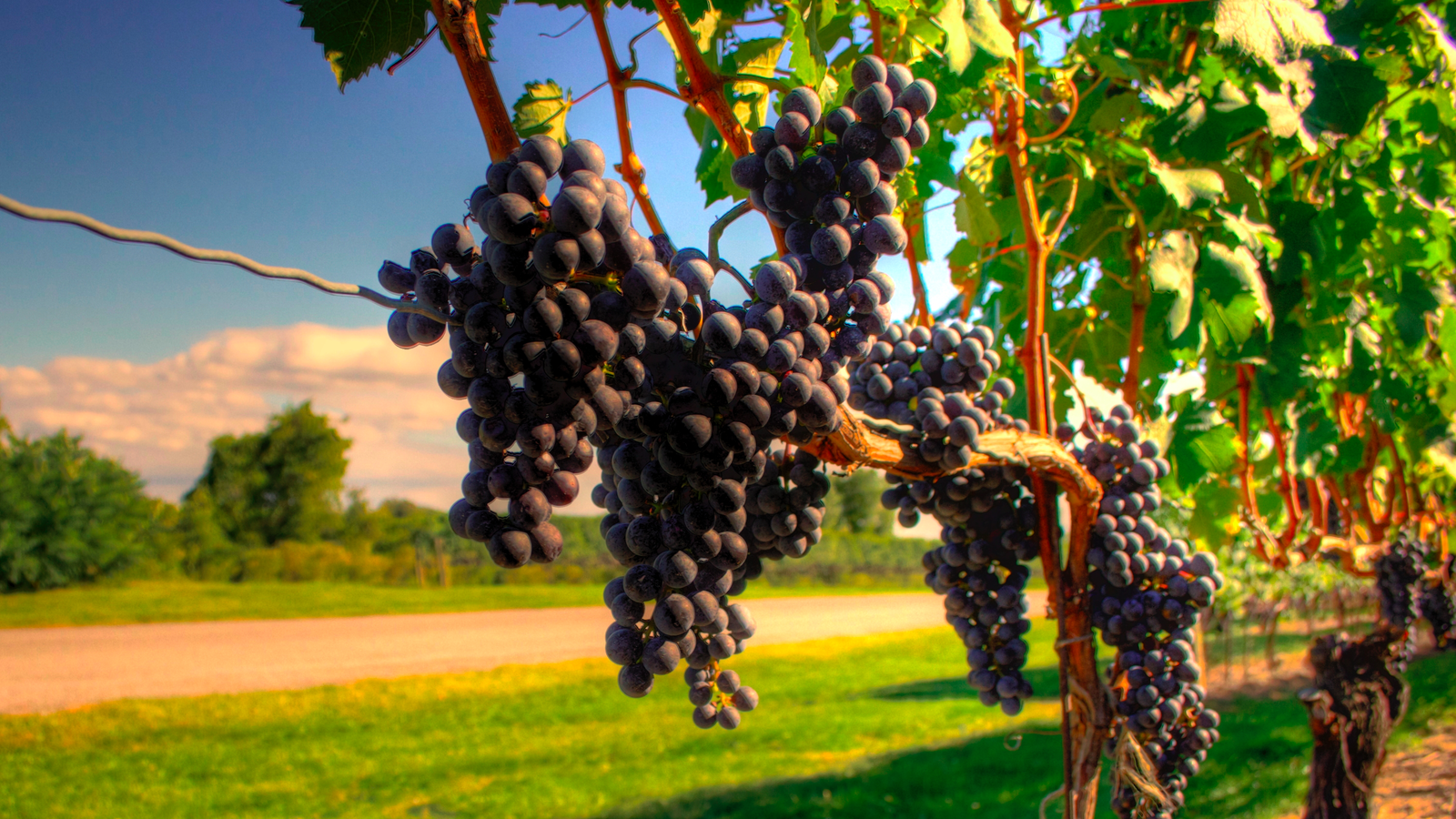 How The Great French Wine Blight Changed Grapes Forever