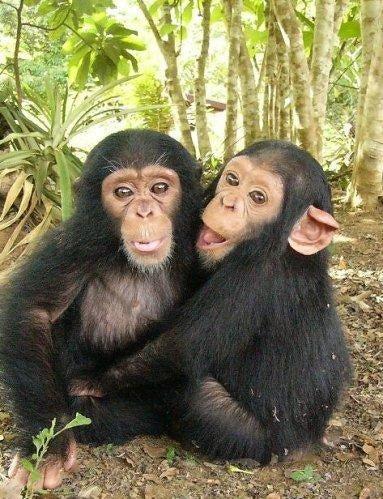 one gene tweak could make chimps talk