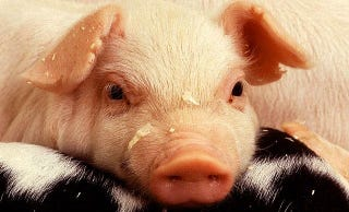 Illustration for article titled This Pig May Be A Baby-Killer