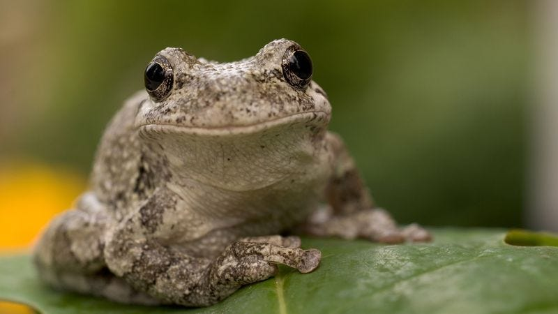 Illustration for article titled Researchers Discover Female Frogs Prefer Mate Who Knows Way Around The Cloaca