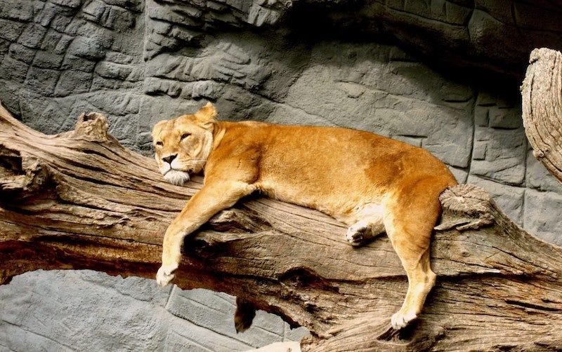 ¿Los leones vomitan bolas de pelo?