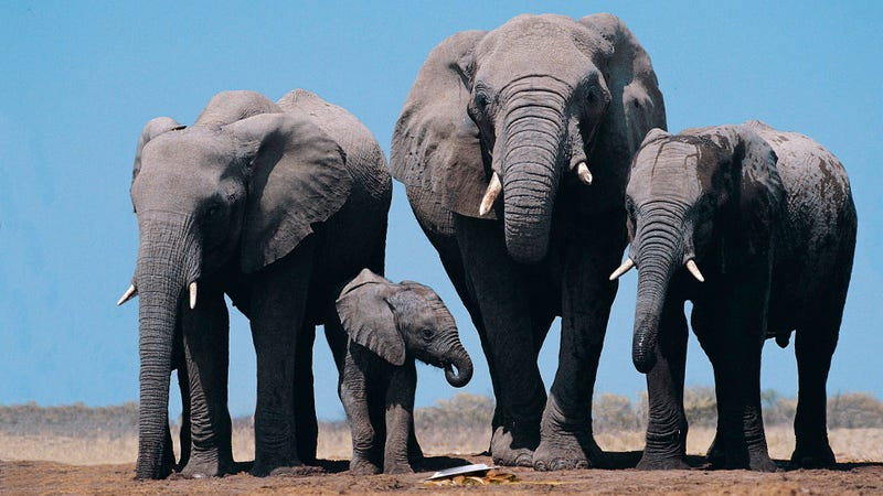 Illustration for article titled Nature Is Amazing: Researchers Have Discovered That Elephants Experience Mourning When They Drop A Plate Of Nachos Facedown On The Ground