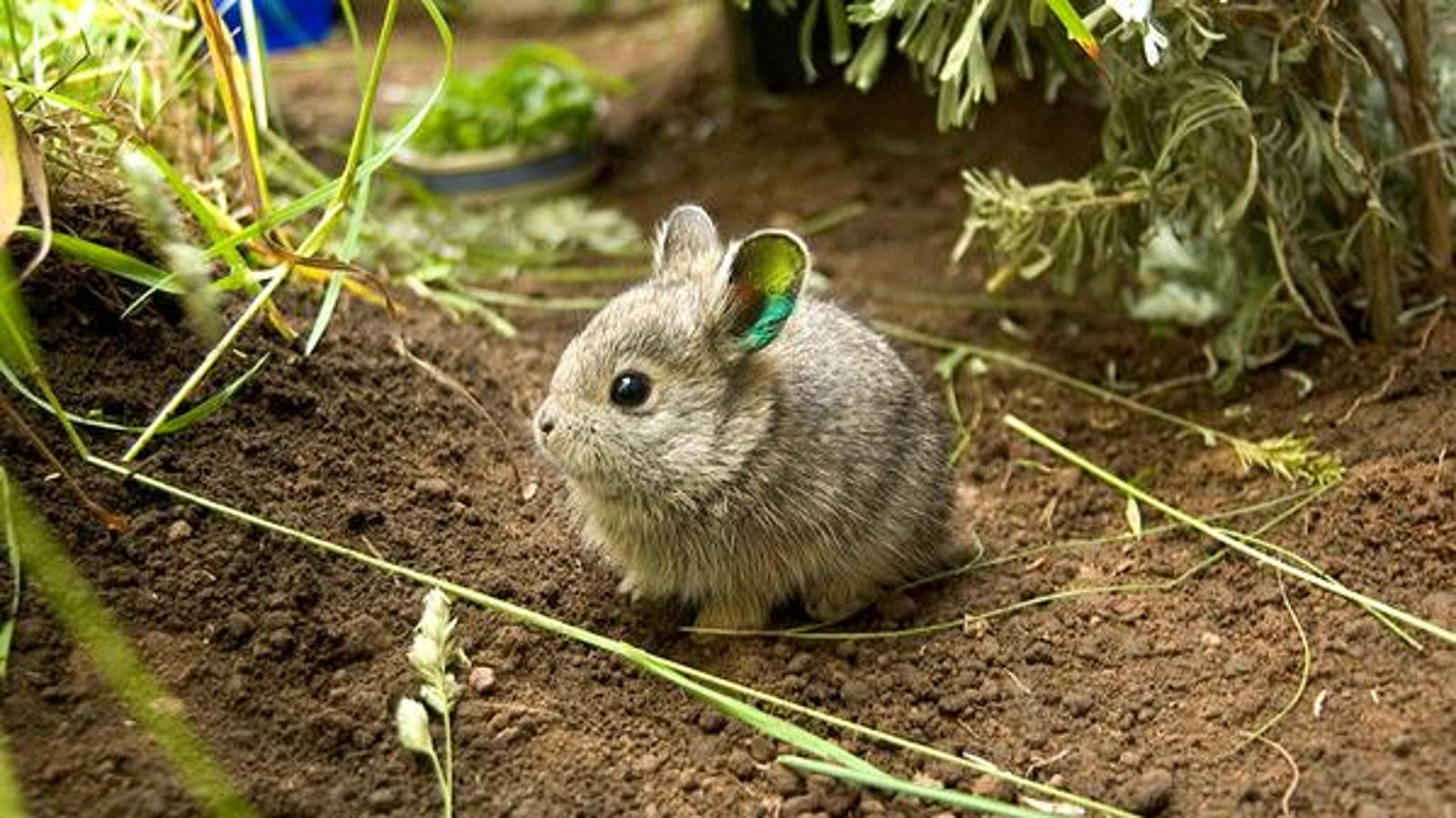 There\'s cute, and there there\'s baby Columbia Basin pygmy rabbit cute.