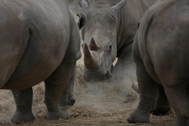 Najin, centre, one of only two female northern white rhinos remaining in the world, grazes in the pen where she is kept for observation, at the Ol Pejeta Conservancy in Laikipia county in Kenya Friday, March 2, 2018. Sudan, the last male of the species died earlier this month. Photo: AP