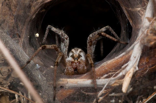 Ask An Arachnologist All Your Questions About Spiders!