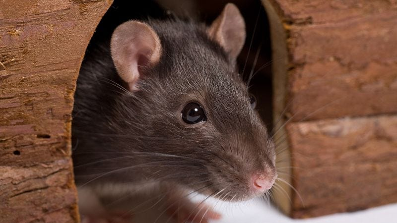 Illustration for article titled Think Rats Can't Be Cuddly? These Photos Will Prove You Wrong