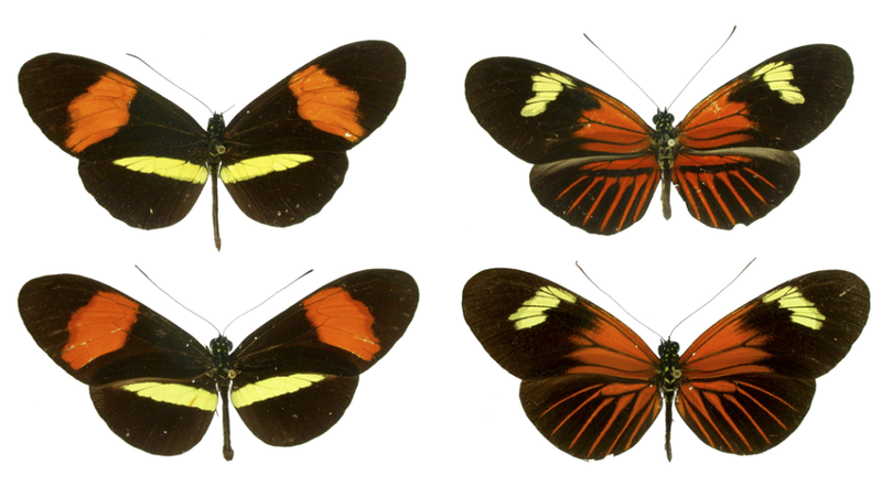 Illustration for article titled Müllerian mimicry helps prey train their predators