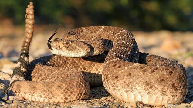 Snake Venom Didn t Evolve for Self-Defense, New Study Finds