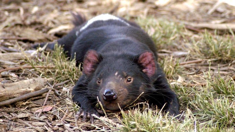 Un demonio de Tasmania. Imagen: Wayne McLean / Wikipedia