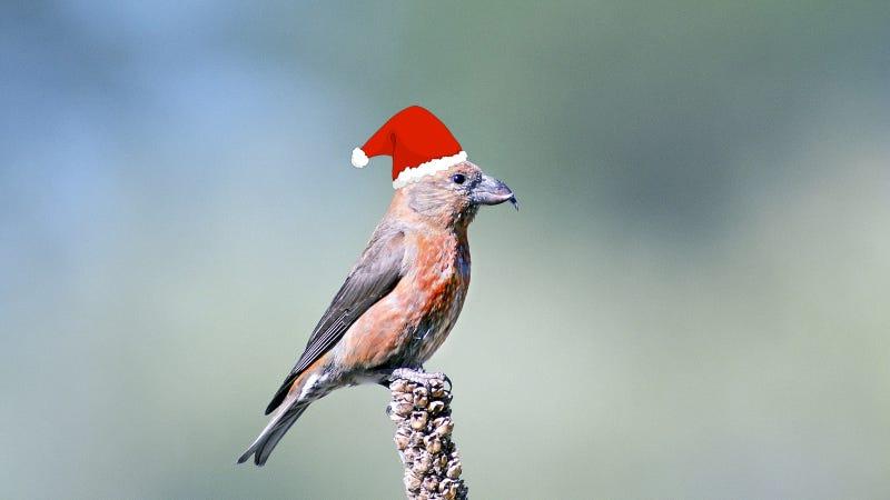 Red crossbill in a Santa hat